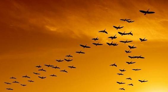 Animales-en-video-grandes-migraciones-aves.jpg